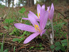 Colchicum polyphyllum (Duzici - Kozan) S. Turkey