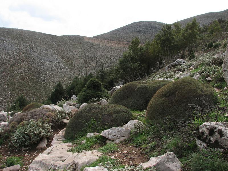 Acantholimon cf. puberulum (near Belen Pass, Nur Dağlari, Hatay, S Turkey)