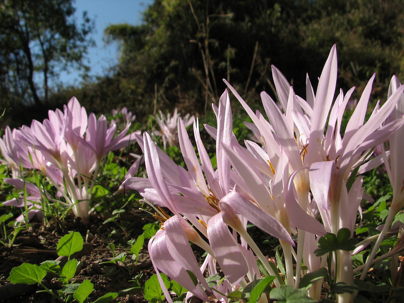 Colchicum polyphyllum ?, West of Islahiye, S. Turkey