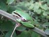 Hyla meridionalis, Tree Frog (NL: boomkikker) (Serinyol - Hassa near Yayladag, Syrian border)