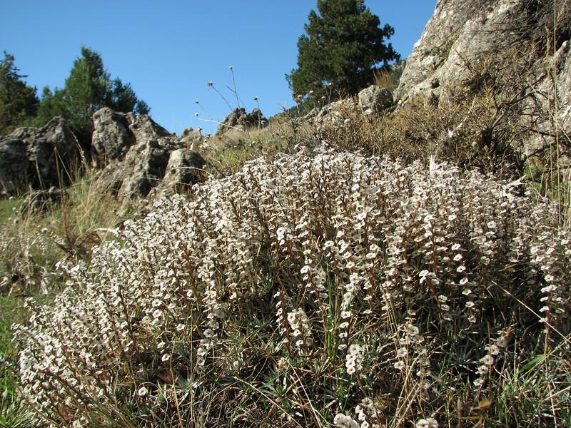 Acantholimon acerosum (N of Kozan, near Feke, S Turkey)