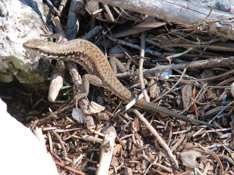 lizard,  near the Aladag Gecidi 1050m.(pass)