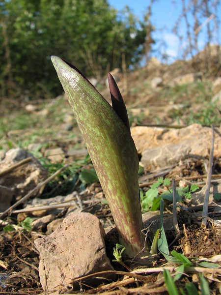Biarum eximium - a rare species in the wild, identified by Peter Boyce from photograph, SE of Kozan (Duzici - Kozan) S. Turkey