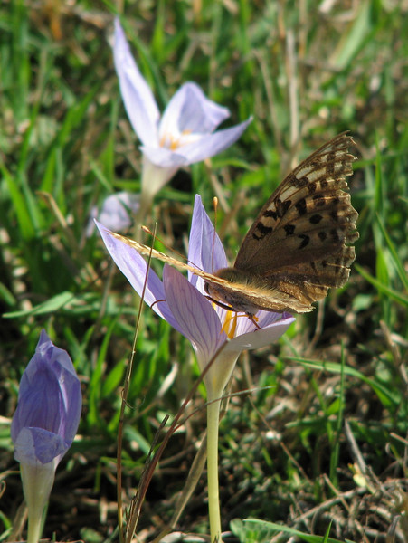 Argynnis paphia ssp. immaculata, note the greenish colour that is typical for this subspecies - (NL: Keizersmantel) - on Crocus cancellatus ssp. cancellatus (N of Kozan, near Feke, S Turkey)