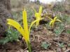 Sternbergia colchiciflora, North of Musabeyli
