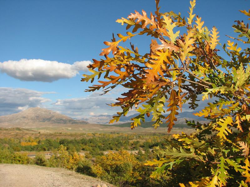 Quercus frainetto (West of Saimbeyli, S Turkey)
