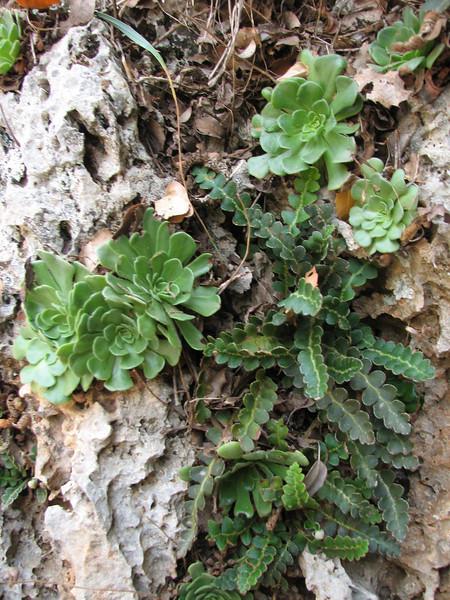 Ceterach officinarum and Rosularia sempervivum (Serinyol - Hassa, Hatay Province, S Turkey)