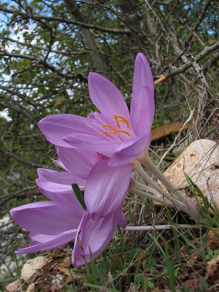 Colchicum cilicium (near Belen Pass, Nur Dağlari, Hatay, S Turkey)