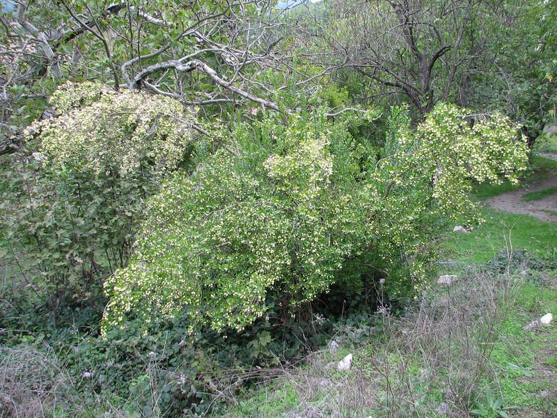 habitat of Myrtus communis (Serinyol - Hassa, near Yayladağı, Syrian border, Hatay Province, S Turkey)