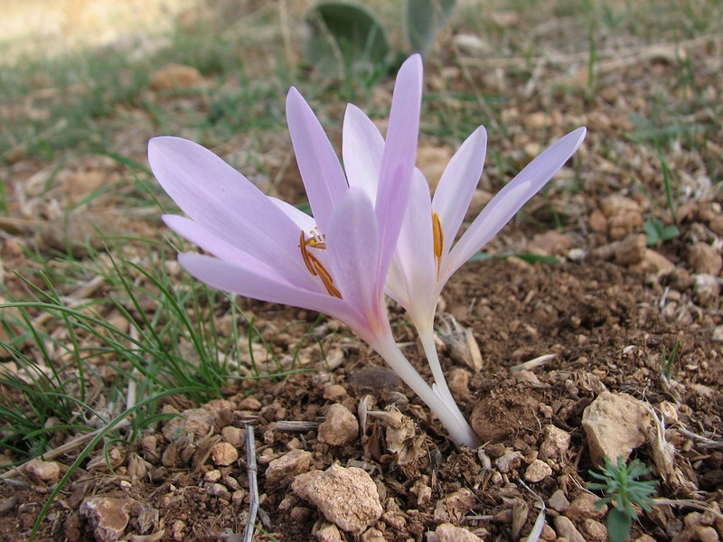 Colchicum polyphyllum, North of Kilis, S. Turkey