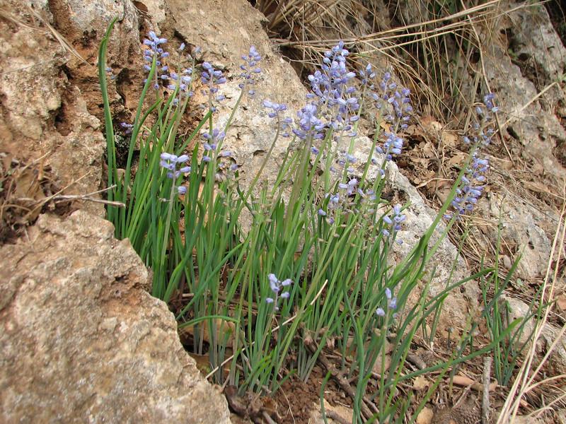 Muscari parviflorum (Adana - Serinyol, Hatay Province, S Turkey)