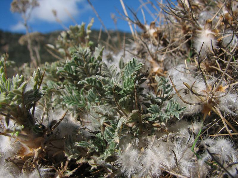 habitat of Astragalus spec. (N of Kozan, near Feke, S Turkey)