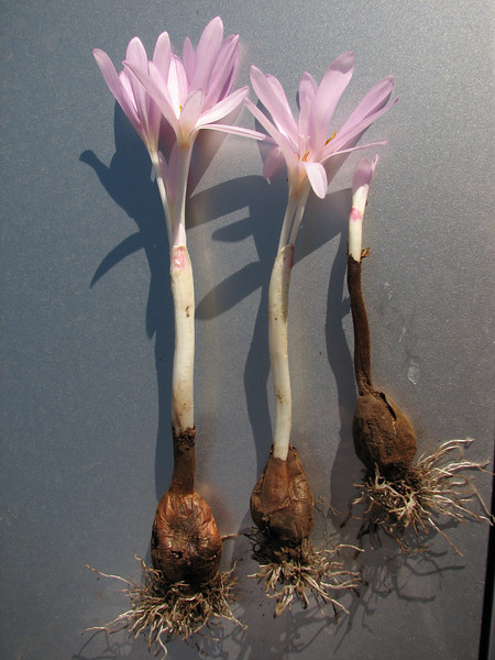 bulbs of Colchicum polyphyllum (only for determination purpose)  West of Hassa, S. Turkey