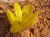 Sternbergia clusiana, South of Gaziantep, 700m, S. Turkey