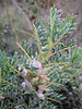 Astragalus kurdicus (Adana - Serinyol, Hatay Province, S Turkey)