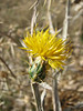 Centaurea kotschyi (West of Saimbeyli, S Turkey)