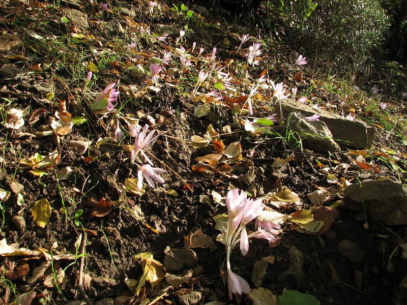 habitatb of Colchicum polyphyllum (N of Kozan, S Turkey)
