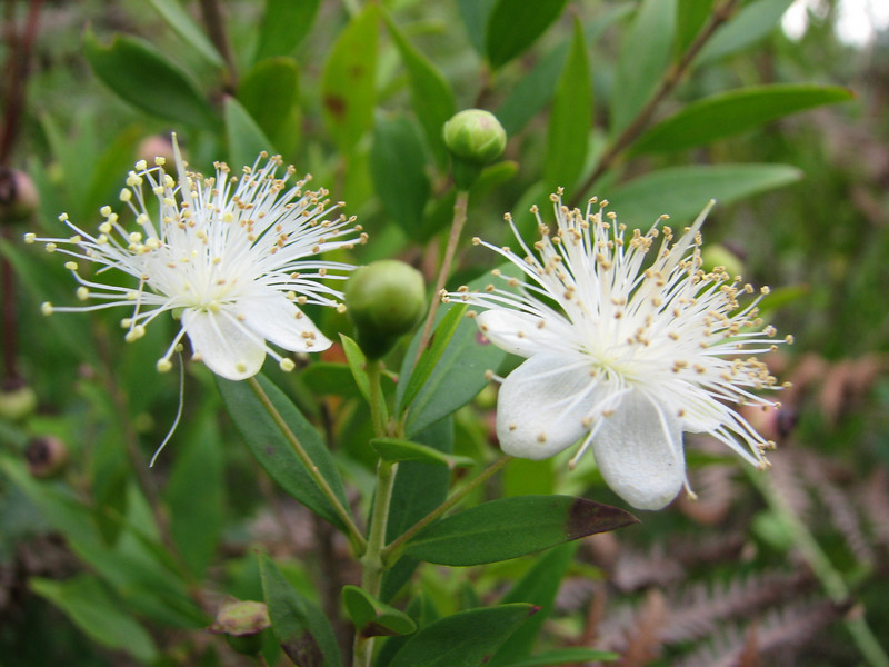 Myrtus communis (Serinyol - Hassa, near Yayladağı, Syrian border, Hatay Province, S Turkey)