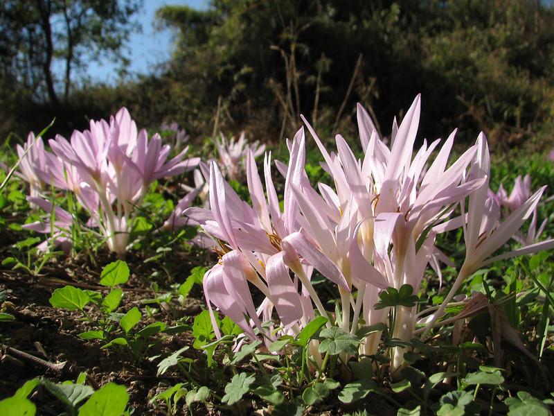 Colchicum polyphyllum ?, West of Islahiye, S. Turkey