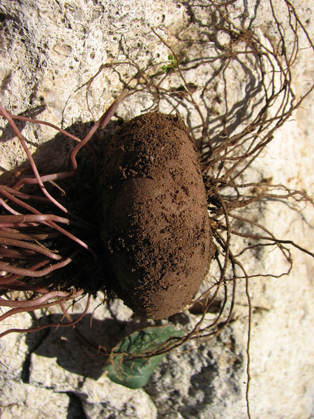 tuber of Cyclamen cilicium (only for determination purpose) near the Aladag Gecidi 1050m.(pass)