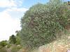 Daphne oleoides, SE of Kozan (Duzici - Kozan) S. Turkey