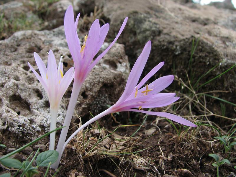 Colchicum polyphyllum ( North of Musabeyli, S Turkey)