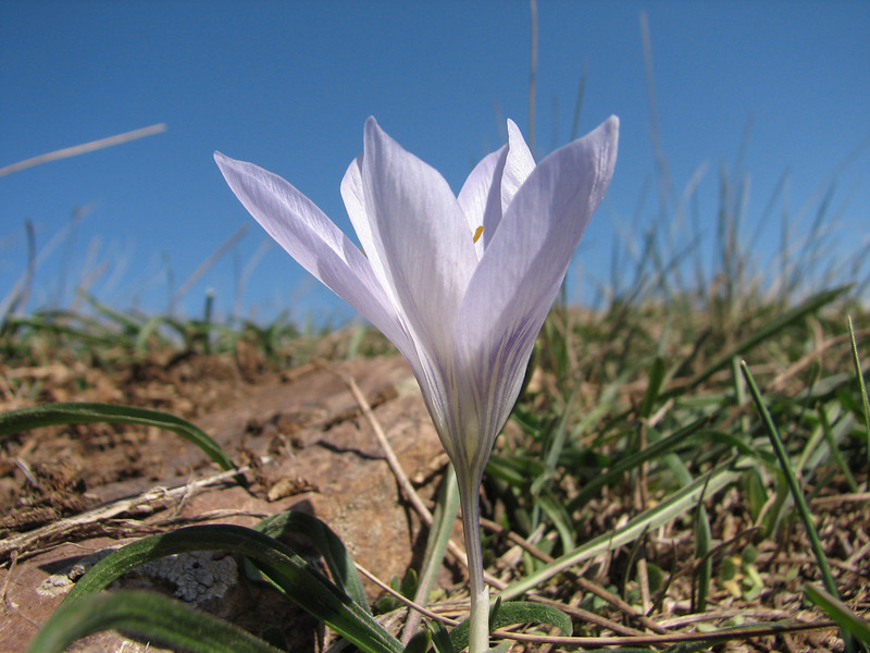 Crocus cancellatus ssp. cancellatus, between Bahce and Fevzipasa, S. Turkey