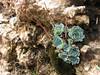 Rosularia sempervivum ssp. glaucophyllum (N of Kozan, near Gezbeli Geçidi, S Turkey)