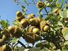 Quercus coccifera,  near Islahiye, S. Turkey