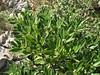 Daphne sericea (Serinyol - Hassa, Hatay Province, S Turkey)