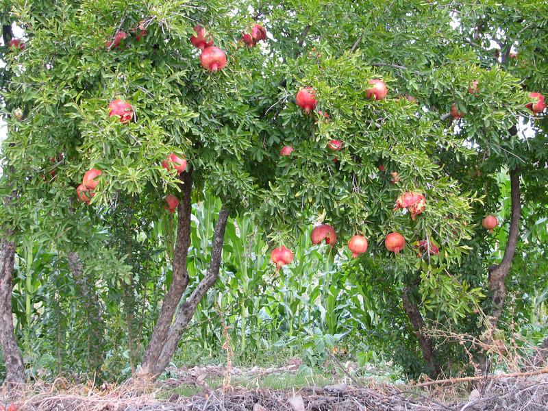 Punica granatum,  North of Musabeyli, S. Turkey