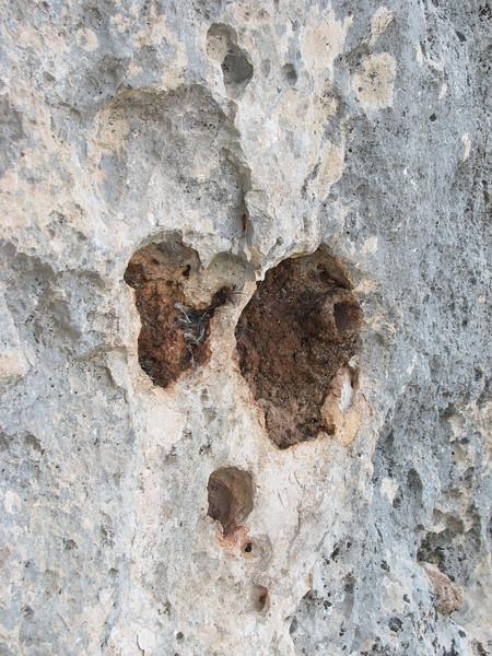 Sitta neumayer (NL: rotsklever) (South of Sakcagoze, Kartal Dagi, near Akyoku Geçidi - 1100m -, S Turkey)