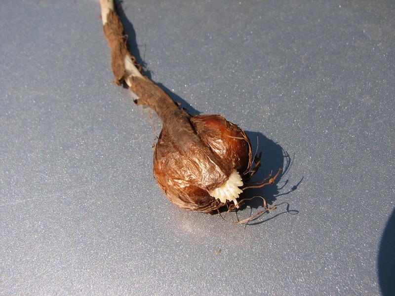 bulb of Colchicum polyphyllum (only for determination purpose)  near Kuscubeli Gecidi 1115m S. Turkey