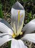 Crocus kotschyanus ssp. kotschyanus (N of Kozan, near Feke, S Turkey)
