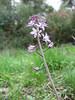 Scilla autumnalis (Serinyol - Hassa, Hatay Province, S Turkey)