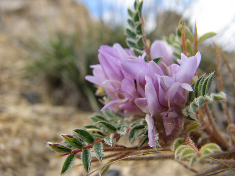 Astragalus spec.  (West of Saimbeyli, S Turkey)