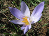 exceptional flower of Crocus cancellatus ssp. cancellatus, petals instead of stamen (N of Kozan, near Feke, S Turkey)