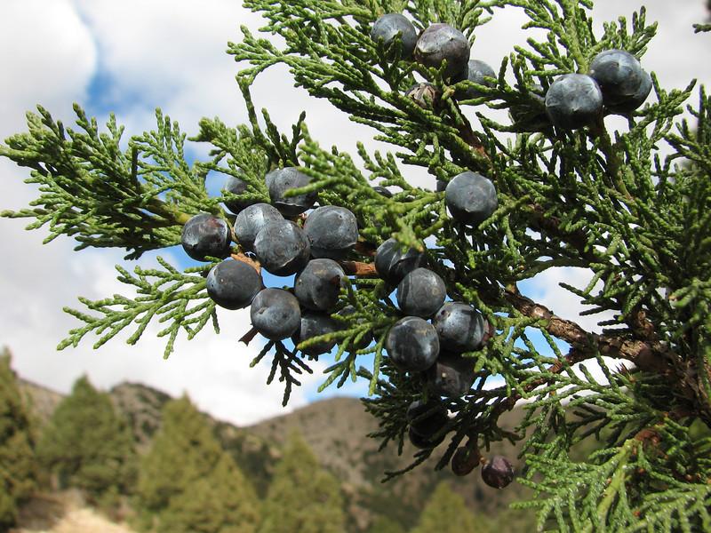 Juniperus excelsa, N of Kozan, near the Gezbeli Gecidi 1990m.(pass)