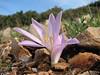 Colchicum polyphyllum (near Belen Pass, Nur Dağlari, Hatay, S Turkey)