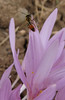 pollinater of Colchicum polyphyllum ( North of Musabeyli, S Turkey)