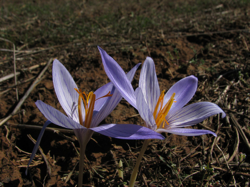 Crocus cancellatus ssp. cancellatus (N of Kozan, near Feke, S Turkey)