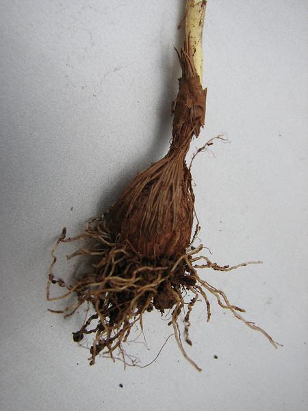 Crocus kotschyanus ssp. kotschyanus,  SW of Caglayancerit