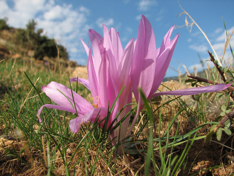 Colchicum polyphyllum, West of Hassa, S. Turkey