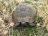 Testudo graeca (moorse landschildpad) North of Musabeyli