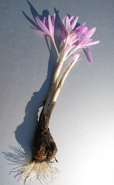 bulb of Colchicum polyphyllum ? (only for determination purpose) West of Islahiye, S. Turkey
