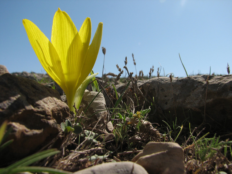 Sternbergia clusiana,  near Kuscubeli Gecidi 1115m S. Turkey