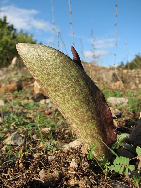 Biarum eximium - a rare species in the wild, identified by Peter Boyce from photograph, SE of Kozan (Duzici - Kozan) S. Turkey
