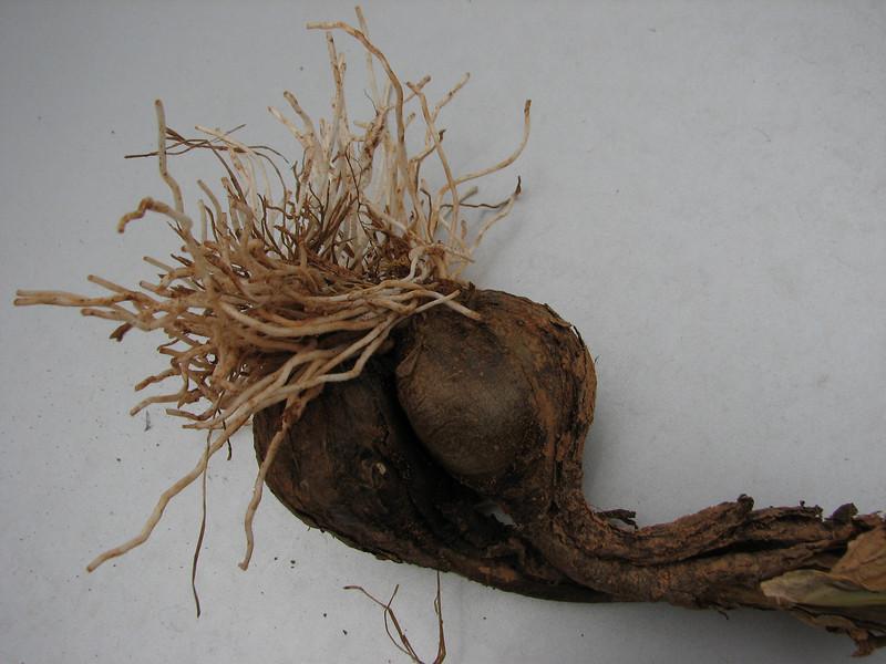 bulb of Sternbergia clusiana (only for determination purpose)(N of Kozan, near Saimbeli, S Turkey)