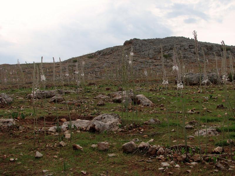 Urginea maritima (near Koracagil, between Kirikhan and Hassa)