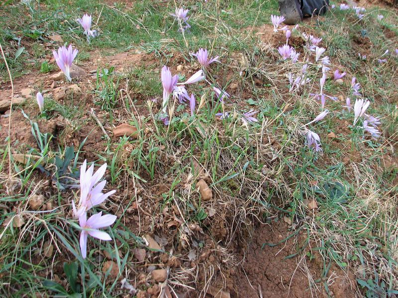 Colchicum polyphyllum, West of Hassa, S. Turkey